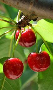 Taille arbre fruitier Ciney